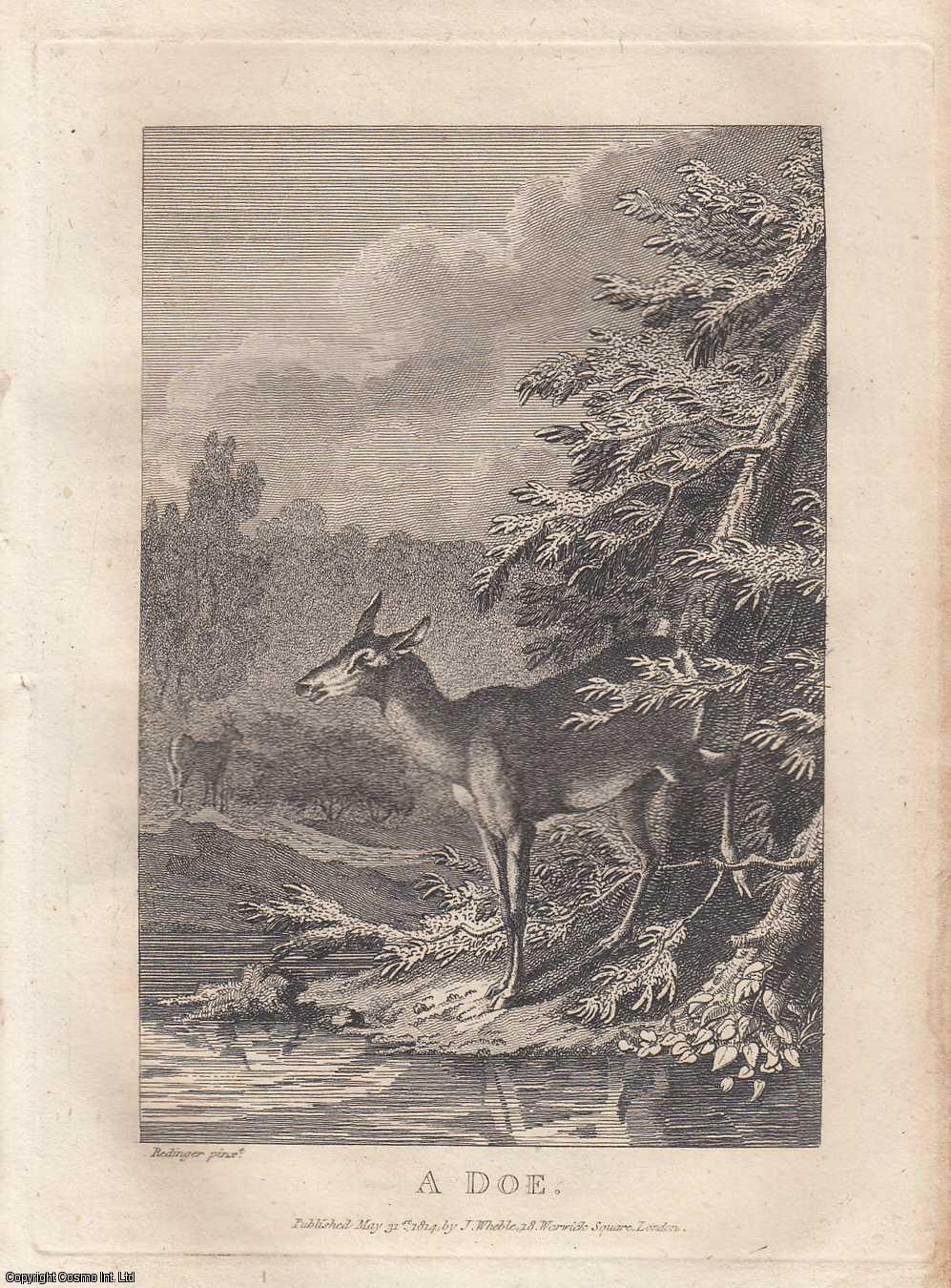 A Doe. An Etching from a Design by Redinger., ---.