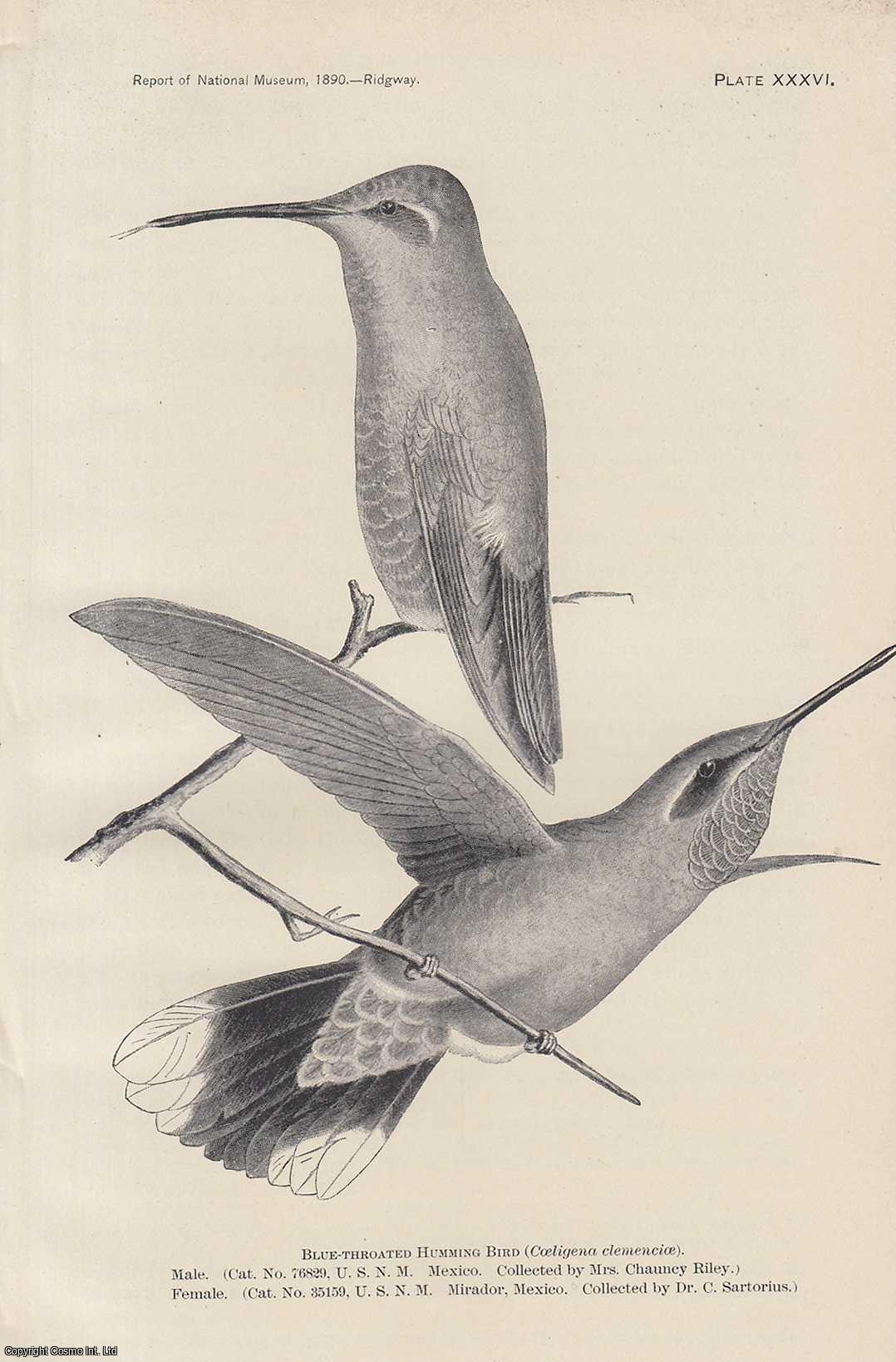 The Humming Birds., Ridgway, Robert
