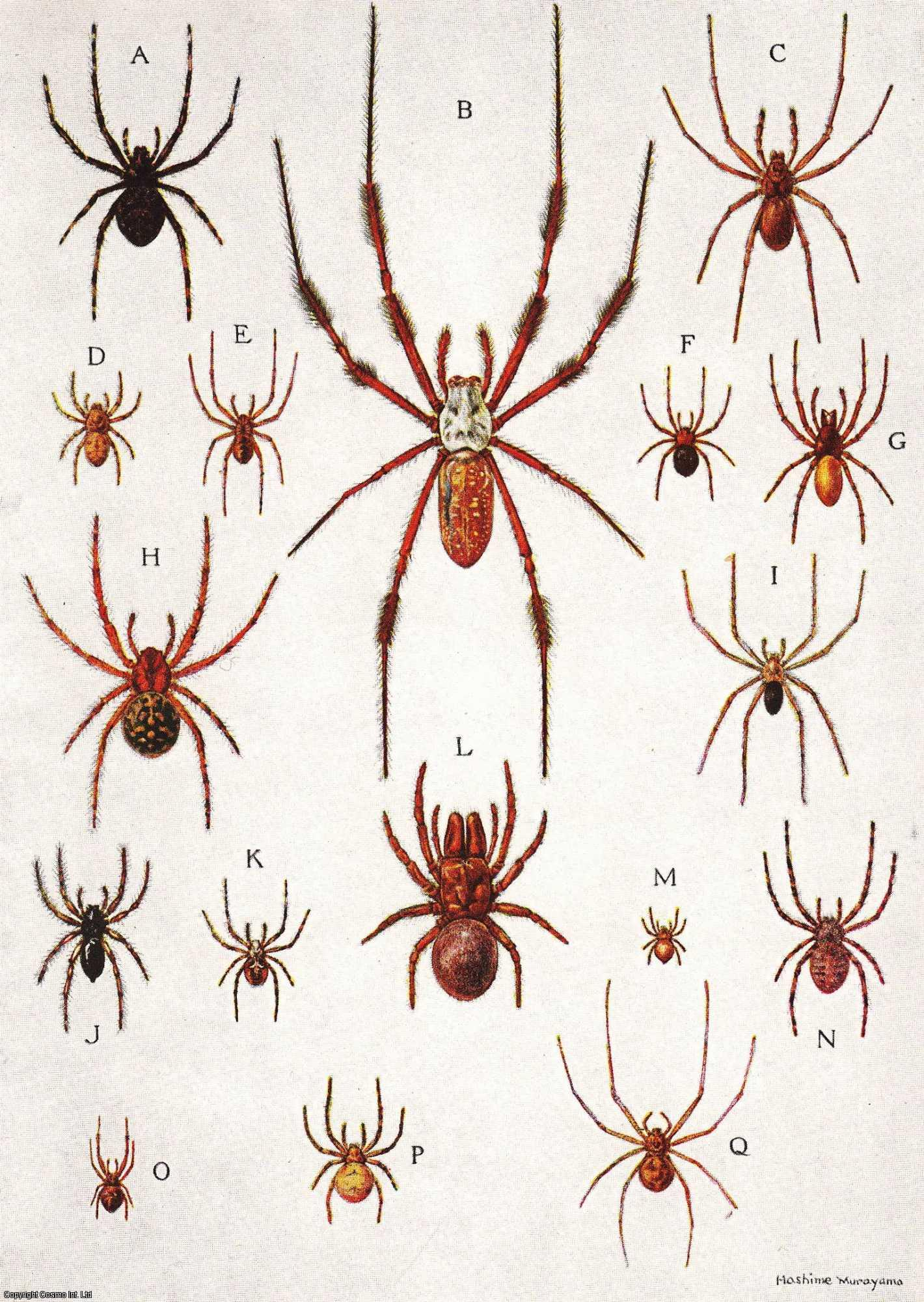 Afield with The Spiders: Web Hunting in The Marshlands and Woodlands and Along The Lanes (India)., Ewing & Hashime Murayama, Henry E.