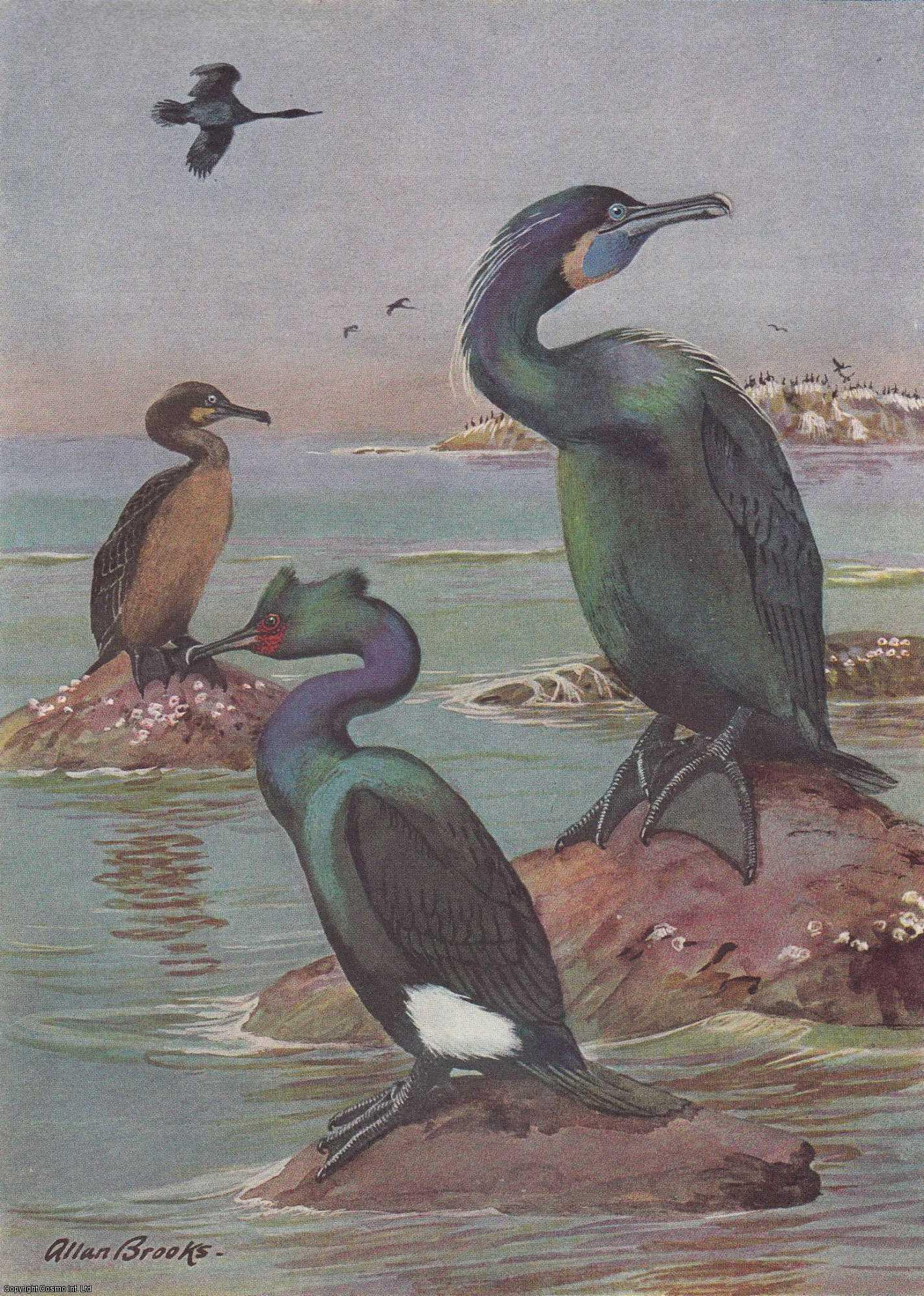 Birds that Cruise The Coast and Inland Waters., Pearson, T. Gilbert