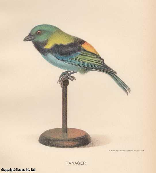 [COLOUR PRINT]. The Tanager Bird. Bird family Thraupidae, in the order Passeriformes., ---