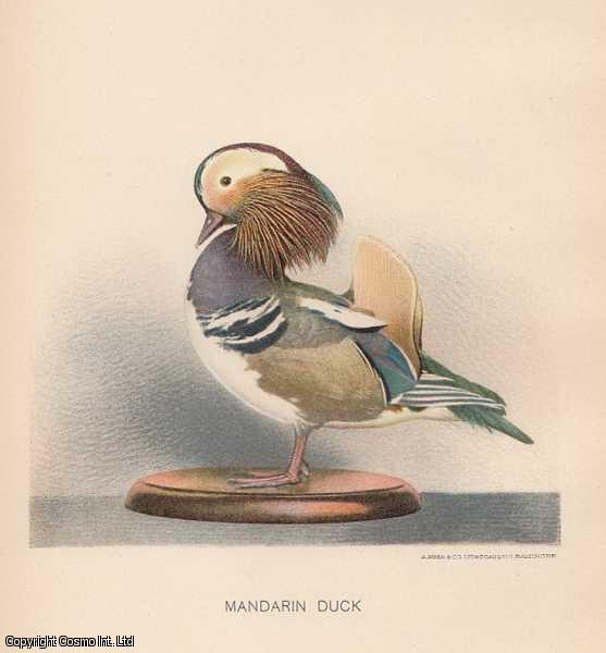 [COLOUR PRINT]. The Manadrin Duck. A perching duck species found in East Asia., ---
