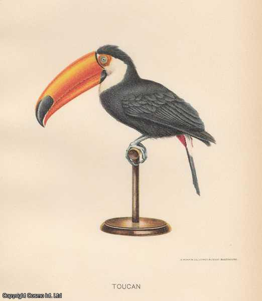 [COLOUR PRINT]. The Toucan Bird. Member of the family Ramphastidae of near passerine birds from the Neotropics., ---