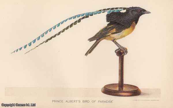 [COLOUR PRINT].  Prince Albert's Bird of Paradise. The King of Saxony, Pteridophora Alberti. The only member in the monotypic genus Pteridophora. Found only in New Guinea., ---