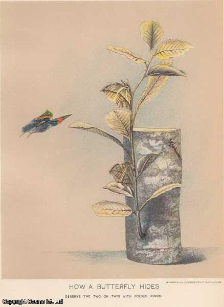 [COLOUR PRINT].  How a Butterly Hides. Observe the two on twig with folded wings.  The neotropical metalmarks ( Riodinidae ) simply hide under leaves, out of sight., ---