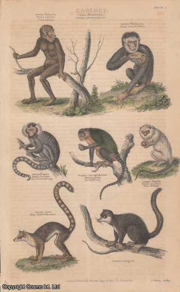 [HAND COLOURED PRINT].  Zoology. Class Mammalia. Order Quadumana. Features Oranoutang, Gibbon, Monkeys, Lemurs., ---