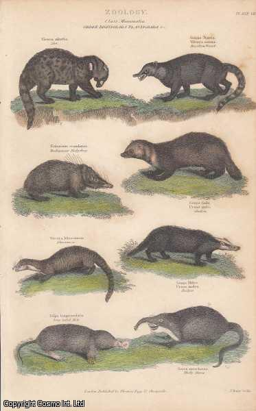 [HAND COLOURED PRINT].  Zoology. Class Mammalia.  Order Digitigrada Platigrada, etc. Featuring Zibet, Wessel, Hedgehog, Badger, Mole, Shrew., ---