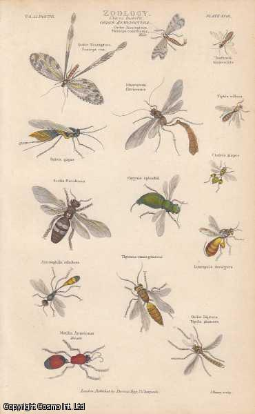 [HAND COLOURED PRINT].  Zoology. Class Insecta. Order Hymenoptera. Featuring 14 insects., ---