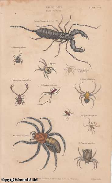 [HAND COLOURED PRINT].  Zoology. Class Crustacea. Featuring 11 creatures, including Tarantula., ---