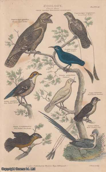 [HAND COLOURED PRINT].  Zoology. Class Aves.  Order Passeres Herundines Caprimulgus. Featuring 8 Goat Sucker, Blue Creeper, Blue Tailed Thrush, Bunting, Coly., ---