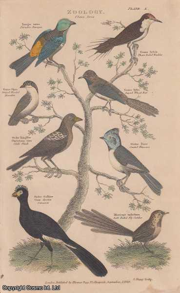 [HAND COLOURED PRINT].  Zoology. Class Aves.  Featuring 8 Paradise Tanager, Thorn Tailed Warbler, Chili Finch, Curassow., ---
