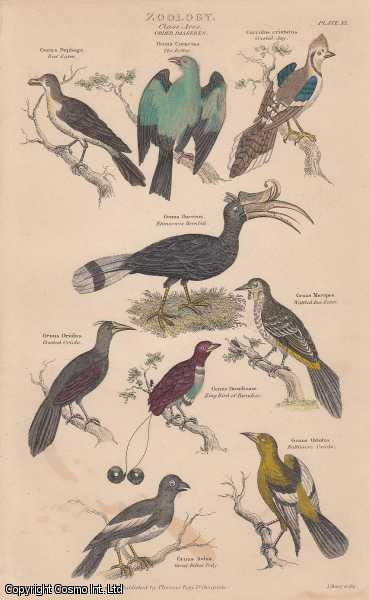 [HAND COLOURED PRINT].  Zoology. Class Aves.  Order Passeres. Featuring 9 Beef Eater, Crested Jay, Bee Eater, Baltimore Oriole, Great Billed Tody., ---