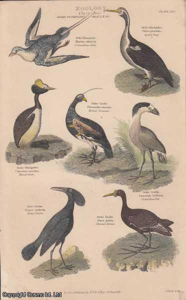 [HAND COLOURED PRINT].  Zoology. Class Aves.  Order Palmipedes, Grallae, etc. Featuring 7 Spotted Shag, Horned Grebe, Tufted Umbre, Crested Boat Bill, Horned Screamer., ---