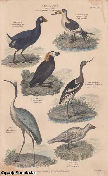 [HAND COLOURED PRINT].  Zoology. Class Aves.  Order Palmipedes, Grallae, etc. Featuring 6 Purple Gallinale, American Avocat, Indian Crane, White Sheath Bill, Tufted Auk., ---