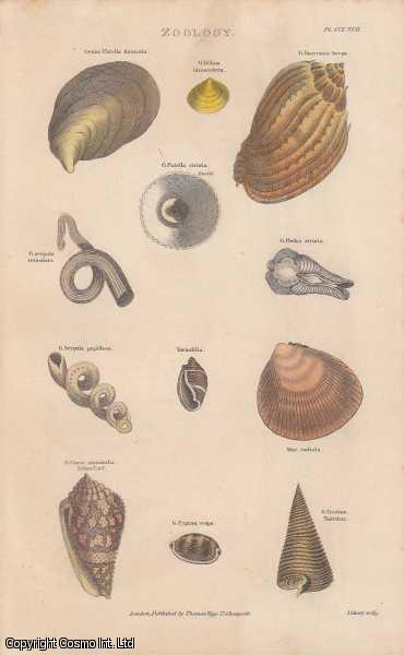 [HAND COLOURED PRINT].  Zoology. Genus Bulla lignaria. Featuring 12 mollusc and shells., ---