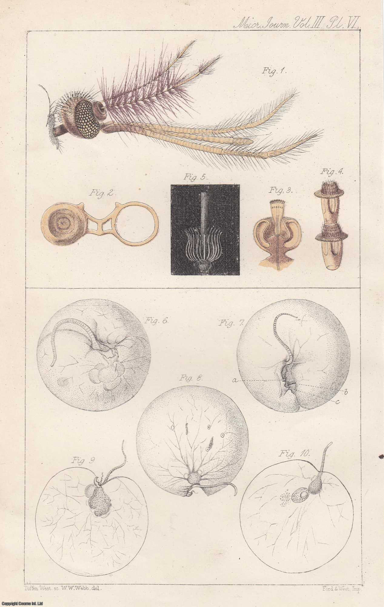 JOHNSTONE, CHRISTOPHER - Auditory Apparatus of the Culex Mosquito. With a colour plate. An original article from the Quarterly Journal of Microscopical Science 1855.